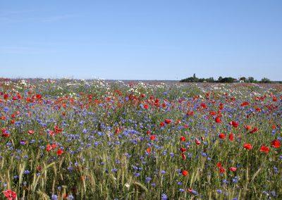 unberührte Natur wie sie schöner kaum sein kann - Blick über ein blühendes Feld Sommerfeld in Barnstorf zu den Kitern auf dem Saaler Bodden